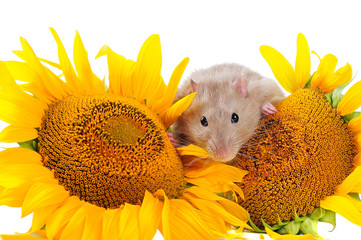 Pretty little mouse between blooming sunflowers