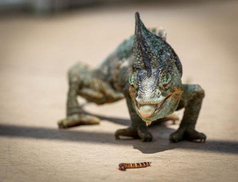 Veiled Chameleon / Reptile