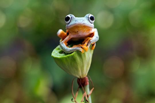 flying tree frog, wallace frog, rhacophorus reinwardtii