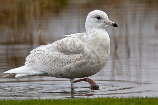 Iceland Gull (Larus glaucoides), juvenile standing in shallow water, Marazion Marsh RSPB, Cornwall, England, UK.