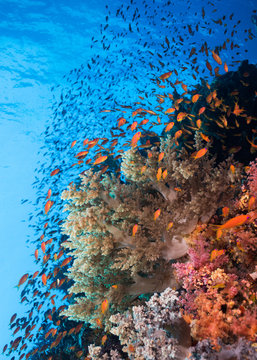 Seascape of the coral reef  and shoal of Lyretail anthias (Pseudanthias squamipinnis) surrounding soft coral with blue water in the background.