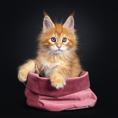 Gorgeous red Maine Coon cat kitten, sitting in pink velvet bag. Looking beside camera with greenish eyes. isolated on black background.