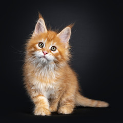 Gorgeous red Maine Coon cat kitten, standing / walking towards camera. Looking above camera with greenish eyes. Isolated on black background.