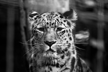In de dag Luipaard Snow Leopard looks focused in the camera