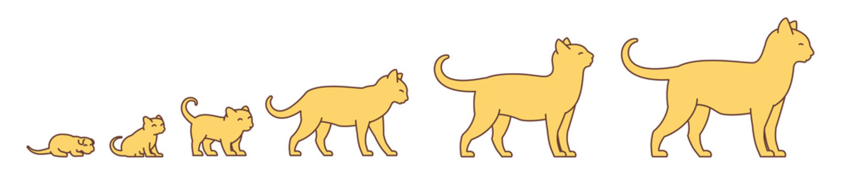 Stages of cat growth set. From kitten to adult cat. Animal pets. Pussy grow up animation progression. Pet life cycle. Vector illustration.