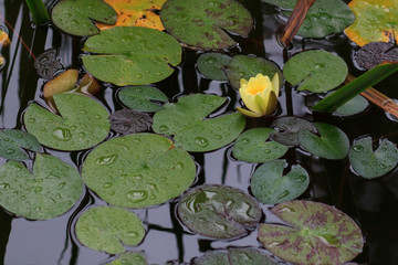 Spoed Foto op Canvas Lotusbloem Yellow and Pink Water Lily on a Pond