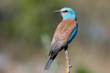 Close-up and vivid photos of the European roller (Coracias garrulus) are sitting on a branch on a beautiful blurred background. Bright colors and detailed pictures