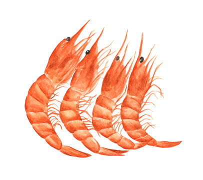 Red prawn or shrimp isolated on white background. Watercolor illustration.