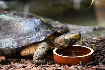 Turtle drinking water from a ceramic bowl.