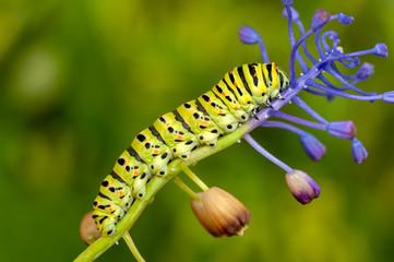 Beautiful   Сaterpillar of swallowtail - Stock Image