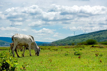 White cows on green alpine meadow.  Mountains with wind turbine on background. Cows in pasture.