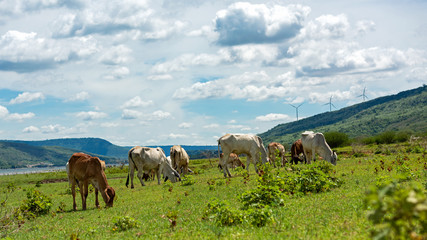 Cows with wind turbine on background. Cows in pasture.