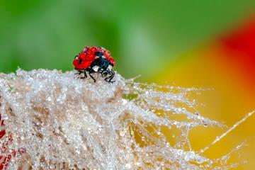 Beautiful Ladybug on dandelion defocused background