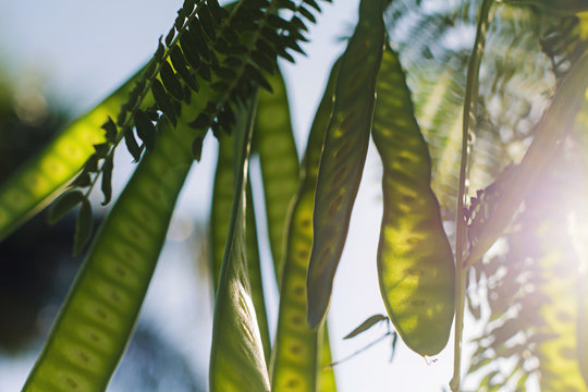 Sponge Tree ; Cassie Flower ; Sweet Acacia (Scientific Name:Acacia Farnesiana) in phuket National Park, Thailand Tropical zone