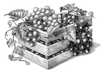 Antique engraving illustration of organic grapes in the basket black and white clip art isolated on white background,organic grapes branding inspiration