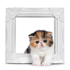 Cute tiny 4 weeks old Exotic Shorthair kitten, standing through white photo frame. Looking at camera with blue eyes. Isolated on white