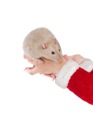 Hands in Santa suit holding rat in hands