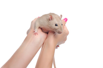Closeup portrait of a rat sitting in hands against white background
