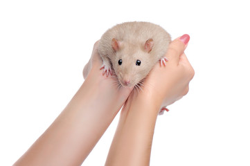Hands holding rat against white background