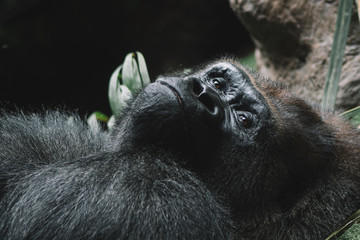 mountain gorilla portrait, close-up picture