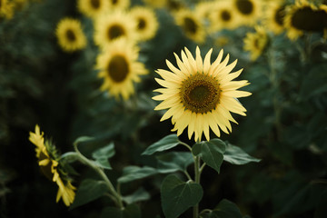 Close-up of sunflower growing outdoors during sunny day