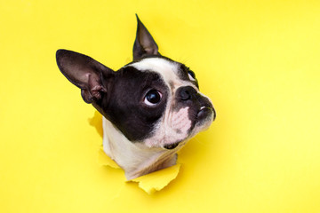 Dog breed Boston Terrier pushes his face into a paper hole yellow. Wall mural