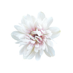 Aluminium Prints Floral White anemone flower isolated on white background