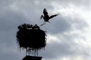 A white stork brings branches to its nest on a chimney in the town of Cvikov