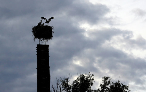 White storks are seen inside their nest on a chimney in the town of Cvikov