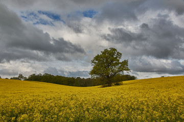 Oilseed Rape Fields