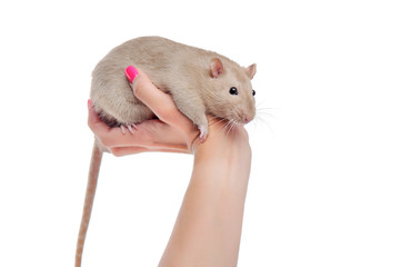 Decorative rat sitting on the hand isolated on white