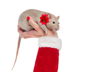 Hand in santa costume holding rat with a flower on the collar