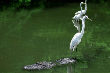 Egret on the Back of an Alligator / Florida Style