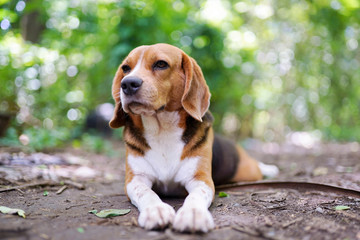 Portrait of a cute beagle dog outdoor in the park.