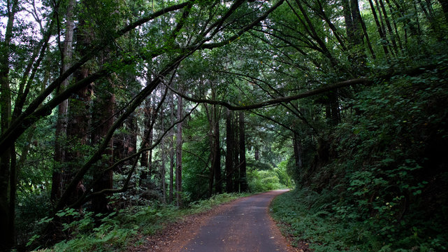 Redwoods forest road trail
