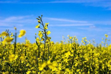 blühendes Rapsfeld und blauer Himmel