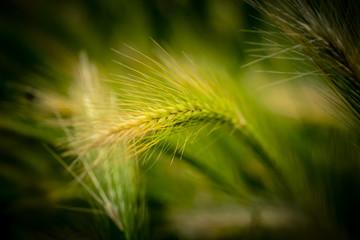 Nahaufnahme von Getreide auf einem Feld