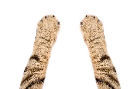 Paws of a cat Scottish Straight, closeup, isolated on white background