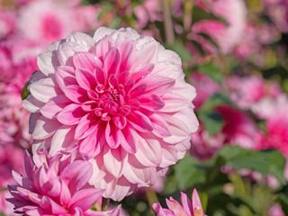 Dahlien in Pink im Garten