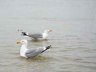 Silbermöwen, Laridae, auf dem Wasser