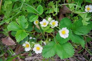 Natural strawberry flowers blooming in spring season. Selective focus