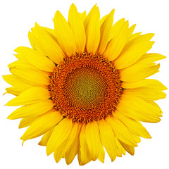 Photo sur Aluminium Tournesol Sunflower isolated on white background. Flat lay, top view