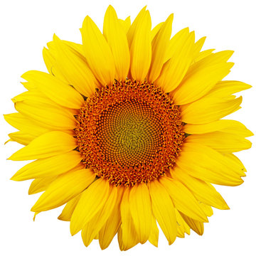 Sunflower isolated on white background. Flat lay, top view