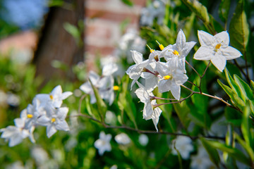 Fiori Bianchi Tipo Gelsomino.Gelsomino Stock Photos And Royalty Free Images Vectors And