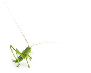 Locust isolated on white.