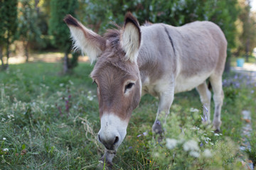 Wall Murals Ass Cute donkey at natural park,enjoying nice weather,life is good