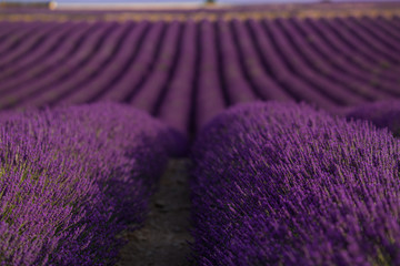 Blossom purple lavender field in summer landscape near Valensole. Provence,France
