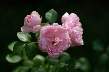 beautiful close up of several pink rose flower heads of the cinderella rose