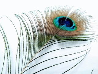 A picture of peacock feather isolated on a white background