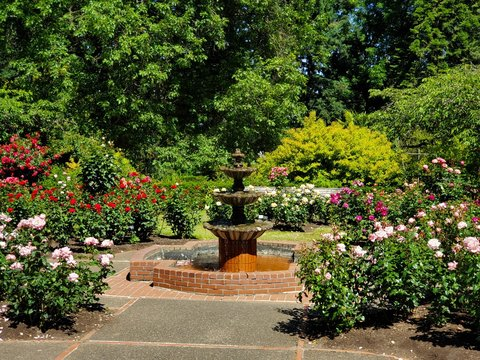 Colorful Rose Flowers and Water Fountain, International Rose Test Garden in Washington Park, Portland Oregon.